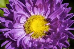 Schönes Makro der purpurroten Kegelblume lizenzfreie stockbilder