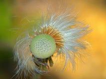 Schönes Makro einer Löwenzahnblume mit orange Hintergrund lizenzfreies stockbild