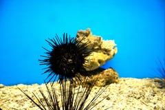 Meerââurchinsl im Aquarium Stockfotos