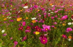Schönes mehrfarbiges Blumenfeld, romantischer Blumenhintergrund und Tapete, lizenzfreie stockfotografie