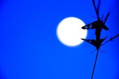 Schönes Mondscheininsekt Lizenzfreies Stockbild