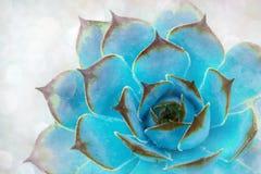 Schönes Muster des blauen Succulent Stockfoto