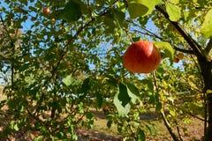 Schönes natürliches Apple, das an einem reifen hängt Stockbild