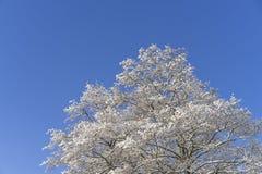 Schönes Natur- und Landschaftsfoto des Baums mit Schnee und der gefrorenen Niederlassungen mit blauem Himmel Lizenzfreie Stockfotografie