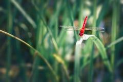 Schönes Naturbild der Libelle Lizenzfreie Stockbilder