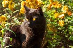 Schönes nettes Porträt der schwarzen Katze mit gelben Augen in den orange Blumen in der Natur Lizenzfreies Stockfoto