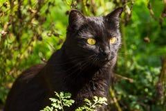 Schönes nettes Porträt der schwarzen Katze mit gelben Augen und dem langen Schnurrbart in der Natur Lizenzfreie Stockbilder