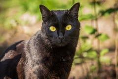 Schönes nettes Porträt der schwarzen Katze mit gelben Augen und dem langen Schnurrbart in der Natur Stockfoto