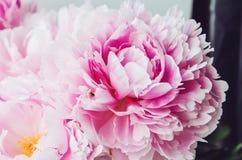 Schönes neues rosa Pfingstrosenblumenmakro Ausführliche vektorzeichnung Blüte blüht Zeit Schönheit und Badekurort Gefühlsgefühlko Lizenzfreies Stockfoto