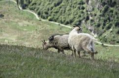 Schönes Neuseeland Wilde Ziegen Queenstowns Stockfotografie