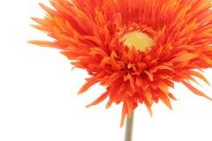 Schönes orange Gerberagänseblümchen getrennt auf Weiß Lizenzfreie Stockbilder