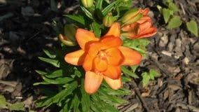 Schönes orange Lilie Lilium bulbiferum stock video footage