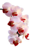 Schönes Orchideepurpur Stockbild