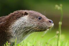 Schönes Otterporträt Lizenzfreie Stockbilder