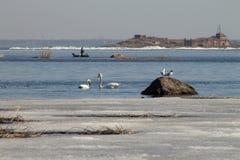 Schönes Paar von Höckerschwänen schwimmt im See, teils im Frühjahr bedeckt mit Eis an einem sonnigen Tag stockbild