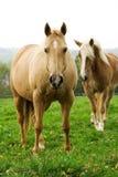 Schönes Pferd Lizenzfreie Stockfotografie