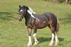 Schönes Pferd Lizenzfreie Stockfotos