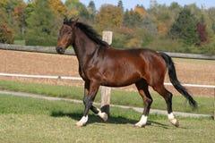 Schönes Pferd auf einer Koppel Lizenzfreies Stockfoto