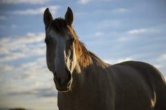 Schönes Pferd blickt in Kameraobjektiv stockfoto