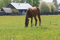 Schönes Pferd Briwn isst frisches Gras auf dem Gebiet Lizenzfreie Stockfotos