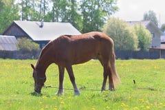 Schönes Pferd Browns isst frisches grünes Gras auf dem Gebiet Lizenzfreie Stockfotos