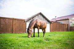 Schönes Pferd Browns isst frisches Gras auf dem Gebiet nahe Dorf am sonnigen Tag Stockfotos