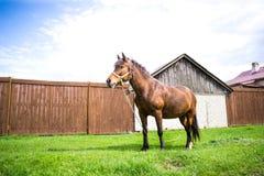 Schönes Pferd Browns isst frisches Gras auf dem Gebiet nahe Dorf am sonnigen Tag Stockbild