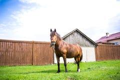 Schönes Pferd Browns isst frisches Gras auf dem Gebiet nahe Dorf am sonnigen Tag Lizenzfreie Stockfotografie