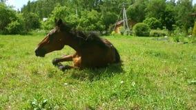 Schönes Pferd, das auf Wiese sich wälzt stock footage