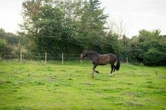 Schönes Pferd, das für Kamera aufwirft Stockbild