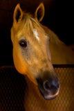 Schönes Pferd, das vom Stall-Strömungsabriß überwacht. Stockbilder