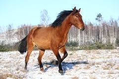 Schönes Pferd, das in Winter galoppiert Lizenzfreies Stockbild
