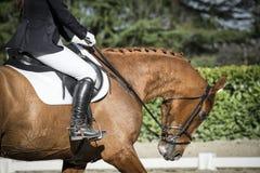 Schönes Pferd in der Hyperflexion Stockfoto