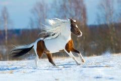 Schönes Pferd galoppiert in den Schnee Lizenzfreies Stockbild