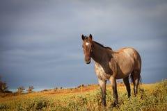 Schönes Pferd mit Morgen Sun in Hawaii stockfoto