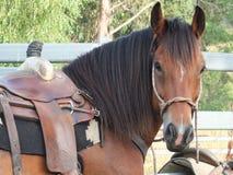 Schönes Pferd mit Western-Sattel Lizenzfreies Stockbild