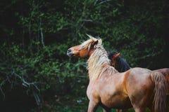 Schönes Pferd zwei mit schönen Spielen einer langen Mähne auf dem Hintergrund des dunkelgrünen Waldes Stockfotos