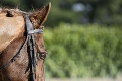Schönes Pferdeauge Stockfotografie