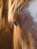 Schönes Pferdenauge Stockbilder