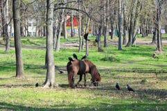 Schönes Pony mit lustiger Herde Ponyfahrten Ponypferd auf der Bauernhofweide an einem sonnigen Tag mit Krähen lizenzfreie stockfotografie