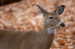 Schönes Porträt der netten Rotwild im Wald Lizenzfreie Stockfotos