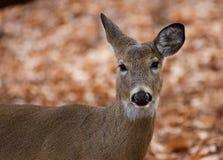 Schönes Porträt der netten Rotwild im Wald Lizenzfreie Stockbilder