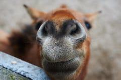 Schönes Porträt des lächelnden Pferds stockfoto