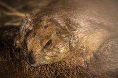 Schönes Porträt des netten braunen Präriehunds, der in einem Bauernhof schläft stockfotografie