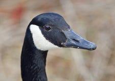 Schönes Porträt einer netten Kanada-Gans im See Lizenzfreie Stockfotos