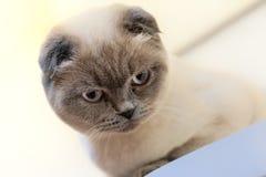 Schönes Porträt einer schottischen Falte die Katze schaut und wartet spielerische Katze, die auf ein Spielzeug wartet Für Dekorat lizenzfreie stockfotos