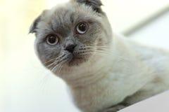 Schönes Porträt einer schottischen Falte die Katze schaut und wartet spielerische Katze, die auf ein Spielzeug wartet Für Dekorat stockfotos