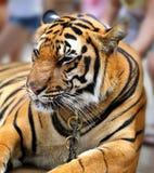 Schönes Porträt eines Tigers Lizenzfreies Stockfoto
