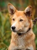Schönes Porträt im Freien eines jungen roten Hundes Stockfotos