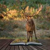 Schönes Porträt von Rotwildhirsch Cervus Elaphus in der bunten Autumn Fall-Waldlandschaft, die aus Seiten in der magischen Geschi lizenzfreies stockbild